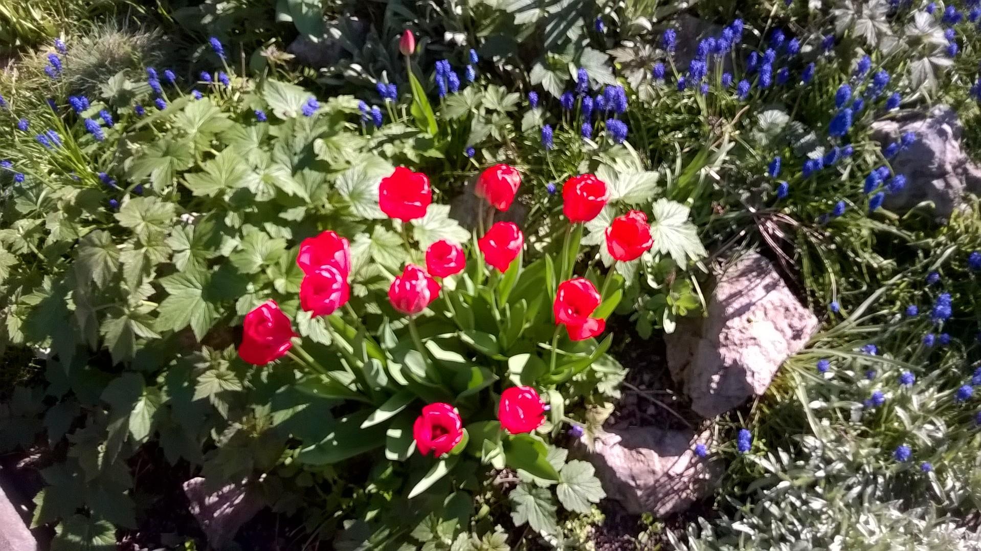 tulipany nebo vlci maky?